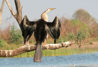 Anhinga dans le Top End